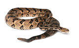 Timber rattlesnake - Crotalus horridus atricaudatus, poisonous,