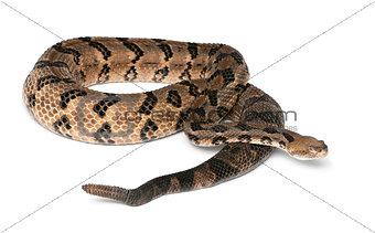 Timber rattlesnake - Crotalus horridus atricaudatus, poisonous,