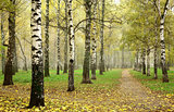 Morning autumn mist in october birch grove at crossing paths