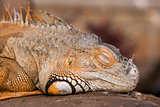 Bright orange Green Iguana