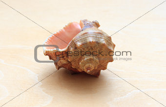 sea ​​shell on a background of wood