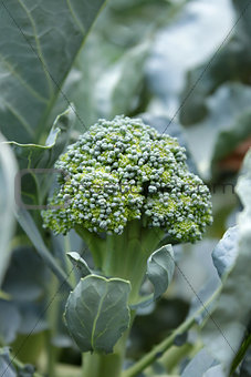 Broccoli plant close up shoot