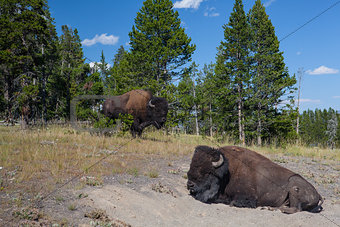 American Bison in Yellowstone National Park