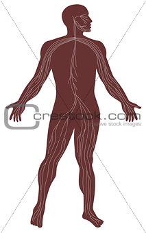 Male Human Anatomy Nervous System