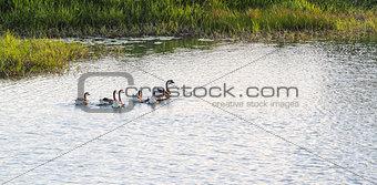 Goose swimming on lake
