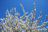 Cherry blossom at blue sky.