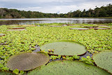Amazon river covered with Victoria Lotuses