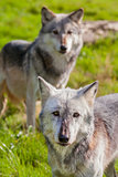 Pair of Two North American Gray Wolves, Canis Lupus