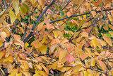 hazelnut tree foliage