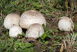 Meadow Mushroom
