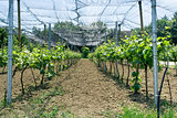 Vineyard Net