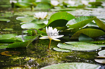 Water lilies flower in the pond