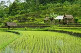 rice fields in bali indonesia