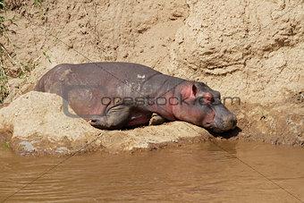 Hippopotamus resting