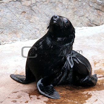 A young brown fur seal