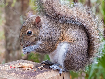 Gray Squirrel Eating a Peanut