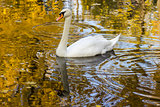 Swan floating in the water the color of gold