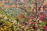 Ripe red berries of barberry (Berberis) in autumn.