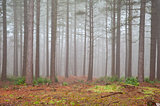 Foggy forest Autumn Fall landscape