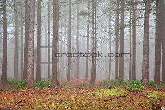 Foggy forest Autumn Fall landscape