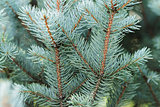 blue spruce twigs close up