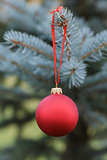 christmas ball hanging on blue spruce