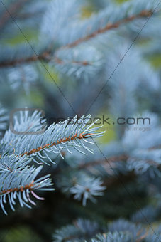 blue spruce twigs close up