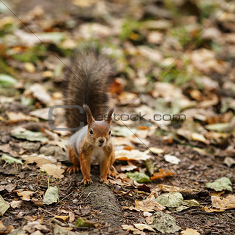 small squirell in the park