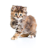 Kuril bobtail tortoiseshell coat coloring cat with paw up