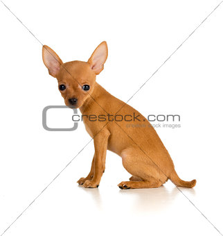 sitting dog Russian toy terrier
