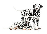 Two Dalmatian dogs together