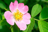 Dog rose flower on a green branch