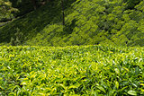 Green plantation of Ceylon tea
