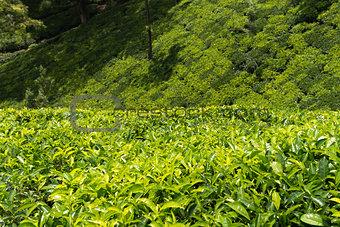 Green plantation of Ceylon tea