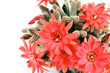 many red cactus flowers over white