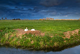 couple of white swans on nest at sunset