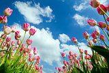 pink tulips over blue sky