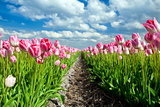 beautiful pink tulips over blue sky