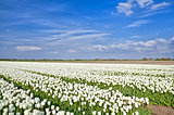 fields with white tulips, Alkmaar