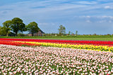 tulip fields and dutch farmhouse