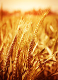 Yellow wheat field background