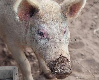 Live pig on farm