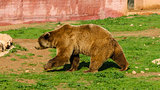 Walking Brown Bear