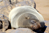Seal at Cape Cross Reserve, Atlantic Ocean coast
