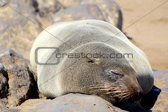 Seal at Cape Cross Reserve, Atlantic Ocean coast