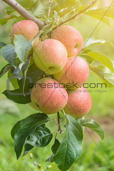 Apples On Tree In Apple Orchard