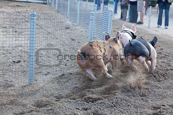 A Day at the Little Pig Races