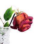 Red rose in vase