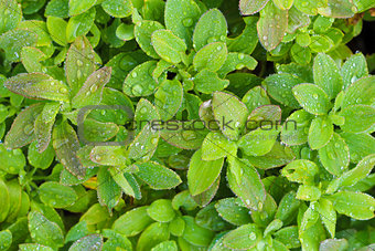 Green Leaves with dews