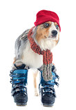australian shepherd and ski shoes